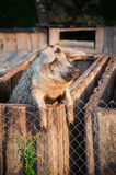 Pig behind a fence Royalty Free Stock Photography