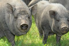 Pig  big Stock Image