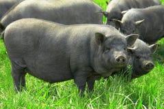 Pig  big Stock Photos