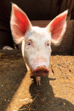 Pig with big ears Stock Images