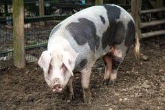 Pig. Big  on a farm Royalty Free Stock Photo