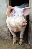 Pig. Big pig in a farm posing at the camera stock photo