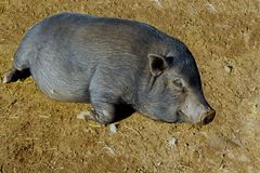 Pig black and lazy Stock Photos
