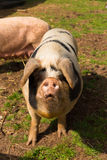 Pig with black spots looking to camera standing in a field Stock Photo