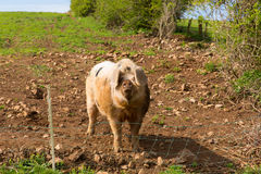 Pig with black spots looking to camera standing in a field Royalty Free Stock Photos