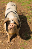 Pig with black spots looking to camera standing in a field Royalty Free Stock Images