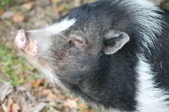 Pig. black. white. pink. ears. love. life. mini pig. snout. grass. leafs. A fine little ginna pig standing in the sun and loving its beautiful life stock images