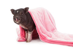 Pig in a Blanket. Baby black pig wrapped in a pink plush blanket stock images
