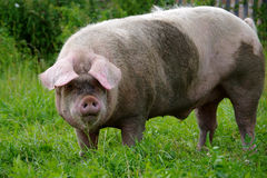 Pig boar. Is going through the garden stock photography