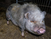 Pig boar pigs farm details shot Royalty Free Stock Image
