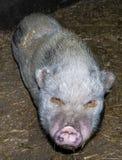 Pig boar pigs farm details shot Stock Photos