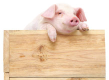 Pig with board Royalty Free Stock Image