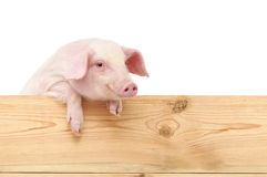 Pig with board. Isolated on white background Stock Images