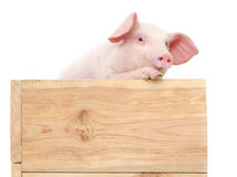 Pig with board Royalty Free Stock Images