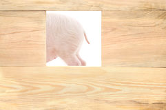 Pig with board Royalty Free Stock Photo