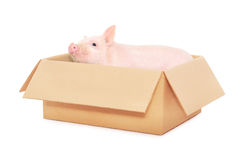 Pig in box. On a white background Stock Image
