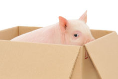 Pig in box Stock Image