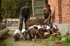 Pig-breeding--natural ecological life in chinese countryside Stock Images