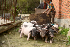 Pig-breeding--natural ecological life in chinese countryside Royalty Free Stock Images