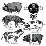 Pig Breeds Vector illustration Sketch style Hand drawn Royalty Free Stock Image