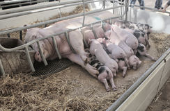 Pig and brood on a cage Royalty Free Stock Photos