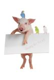 Pig and budgie Stock Photography