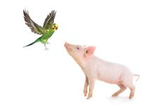 Pig and budgie. On a white background. studio Stock Photos