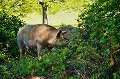 Pig at the bushes Royalty Free Stock Photos