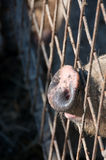 Pig in cage Stock Photos
