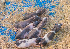 pig in cage of farm industry royalty free stock image