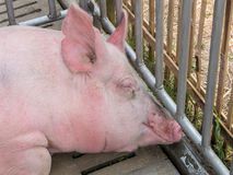 Pig in the cage Royalty Free Stock Images