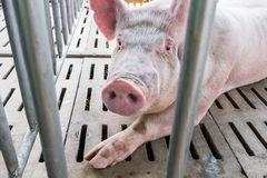 Pig in the cage Stock Photography