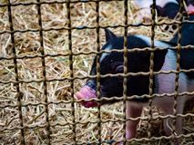 Pig in the cage small stock photo