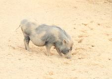 Pig with calf Stock Images