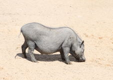 Pig with calf Stock Image