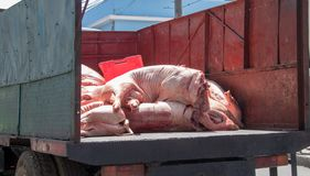 Pig Carcasses on the Back of a Truck. Pig carcasses being transported to a local meat market in Cuba royalty free stock images