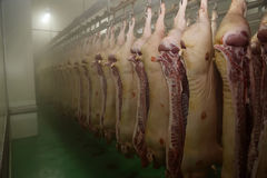 Pig carcasses hanging in a refrigerated room.  royalty free stock photos