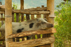 Pig cattle breed in traditional local style farm with bamboo huts on Flores, Indonesia Stock Photos