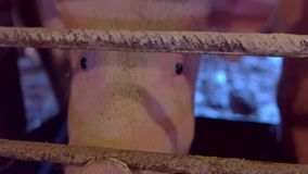 Pig is chewing feed. stock footage