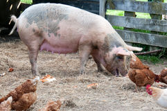Pig and chickens Royalty Free Stock Photos
