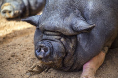 Pig Chinese origin Royalty Free Stock Image