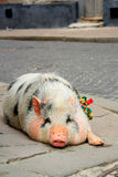 The pig on city street Royalty Free Stock Photo
