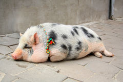 The pig on city street Stock Photography