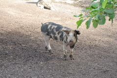 Pig. A classic Swedish breed of swine stock photography