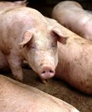Pig close-up Royalty Free Stock Photo