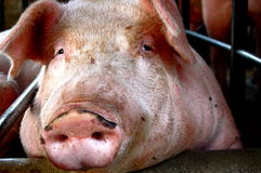 Pig. Close up of a pig at the farm Royalty Free Stock Images
