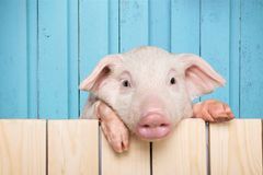 Pig. Closeup isolated snout pets mammals blank Stock Image