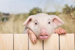 Pig. Closeup isolated snout pets mammals blank Royalty Free Stock Photography