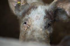 Pig. Closeup of a sad domestic pig Stock Photography