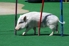 Pig competition stock images